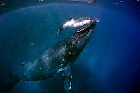 Tonga southern humpback whales and the Vava'u and Tonga Tapu areas of the country