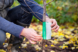 Putting a grease band around the trunk of a fruit tree in autumn. In particular to protect against winter moth caterpillars