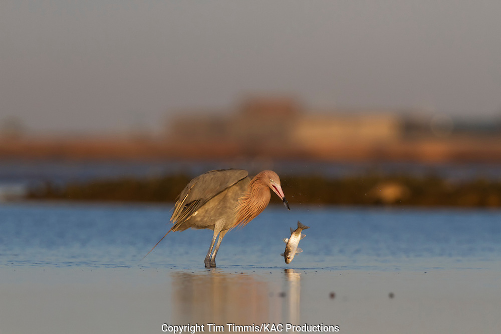 Reddish Egret, Egretta rufescens, Bolivar Flats, Texas gulf coast, catching a fish, dropping a fish, golden light