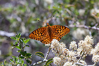 Speyeria coronis hennei (Henne's Fritillary) ♂ at Mt. Pinos, Los Padres NF, Ventura Co, CA, USA, on Mountain whitethorn 16-Jun-18