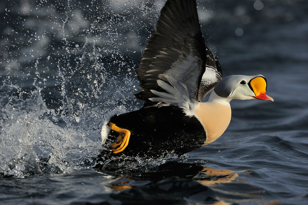 Male King Eider, Somateria spectabilis, Varanger, Norway. The bird is just taking off in the light of the setting sun.