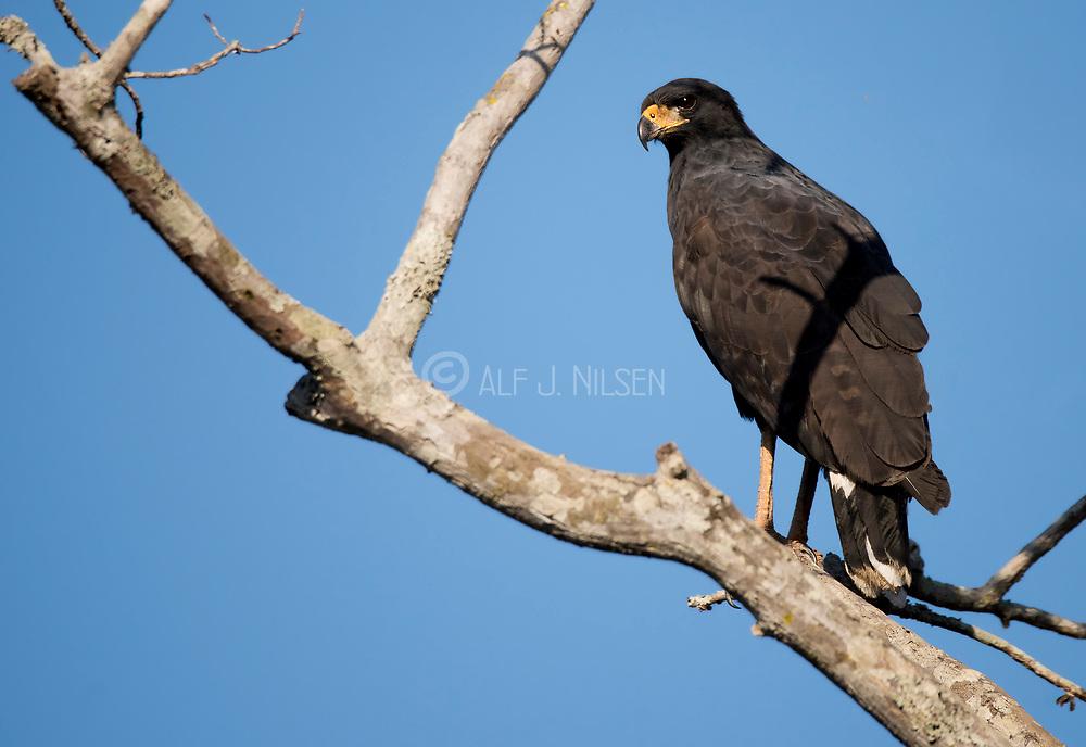 Great black-hawk (Buteogallus urubitinga) from Pantanal, Brazil.