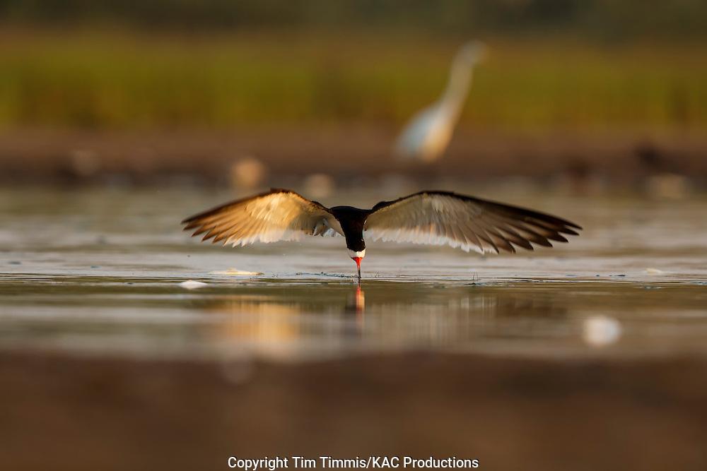 Black Skimmer, Rynchops niger, Bryan Beach, Texas gulf coast, skimming, head-on, beak in water