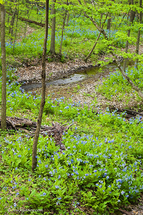 Bluebells wildflowers carpet the forest floor at Wildcat Canyon at Starved Rock State Park in Illinois