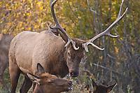Rocky Mountain Elk (Cervus elaphus) Bull and cow elk during the rut.  Colorado.