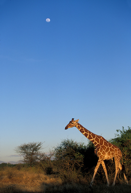 Africa, Kenya, Samburu National Reserve, Reticulated Giraffe (Giraffa camelopardalis) under rising full moon at sunset