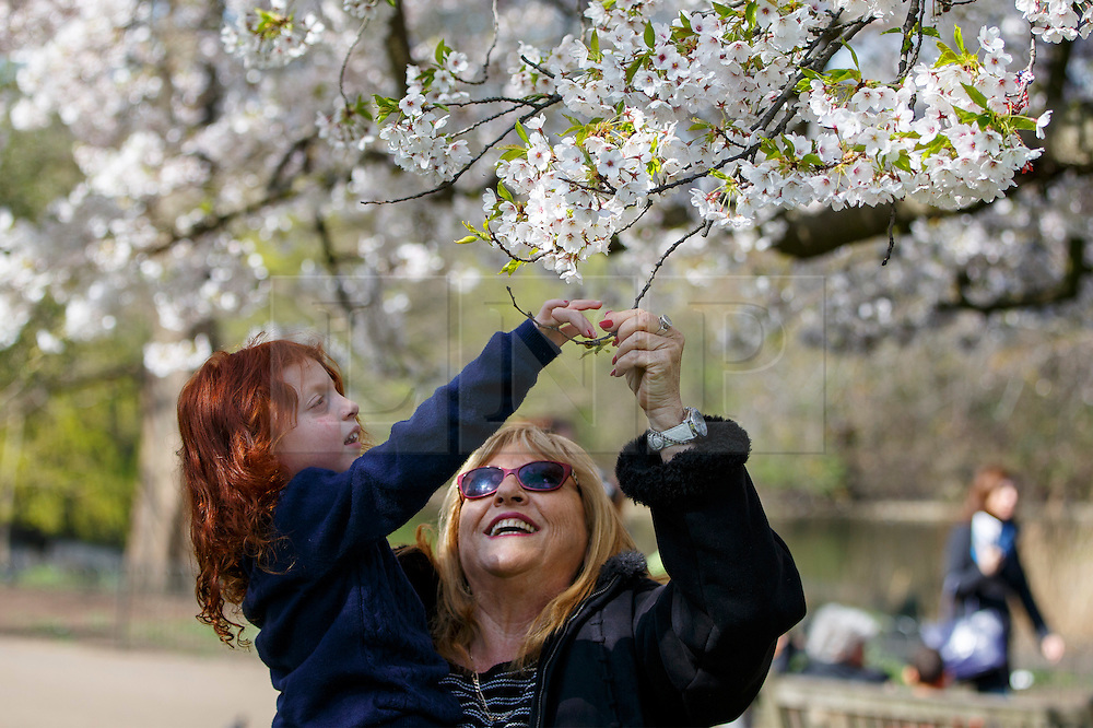 © Licensed to London News Pictures. 07/04/2015. LONDON, UK. A family looking at white blossom trees in St James's Park in London on Tuesday, 7 April 2015 as temperature hits 17C. Photo credit : Tolga Akmen/LNP