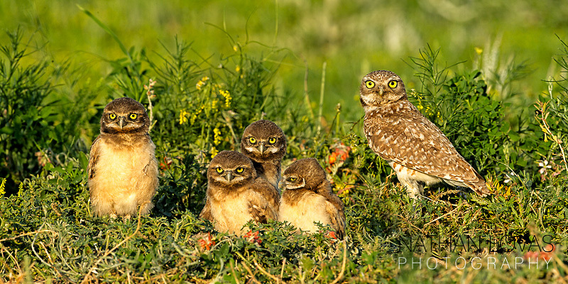 Burrowing owl and chicks at burrow, taken in South Dakota .