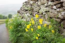 Welsh poppies growing wild by a lane in Yorkshire. Meconopsis cambrica