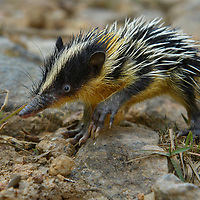 Lowland Streaked Tenrec (Hemicentetes semispinosus). Like a miniature porcupine, these indomitable tiny mammals protect themselves from predators by an armament of barbed spines. They feed on insects and other invertebrates which they find in the leaf litter of the forest floor using their long sensitive snout. All species of tenrec are endemic to Madagascar.