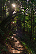 A winding sunlit trail through the redwood forest in California. <br />