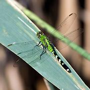 Eastern Pondhawk Dragonfly perched on a leaf