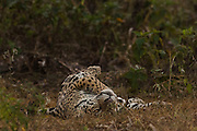 Jaguar (Panthera onca) - male. Cuiaba River.<br /> Pantanal. Largest contiguous wetland system in the world. Mato Grosso do Sul Province. BRAZIL.  South America.<br /> There is much size variation among these cats but in the Pantanal they are larger than those found in the rainforests. These are the largest of the spotted cats in the Americas. They are both diurnal and nocturnal and hunt at any time of the day. Territorial and generally solitary. They may feed on large mammals such as capybaras, peccaries and deer as well as turtles, tortoises, caiman, birds, fish and smaller mammals. They may kill livestock and do in the Pantanal which is why they are still hunted there by some ranchers.<br /> HABITAT & RANGE: Found in a variety of habitats from rainforests to wet grasslands and arid scrub up to 2000 m in elevation. North, Central and South America. From Mexico to Argentina. Formerly in sw USA and Uruguay where now extirpated.