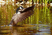 IDAHO. Boise. Canada Goose (Branta canadensis) flapping wings while swimming. September 2006. #bw060069