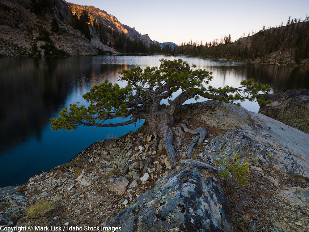 A white pine, dwarfed by harsh conditions in the Sawtooth Wilderness, grips the granite shoreline of one of the Alpine Creek Lakes, Idaho.