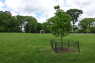 Newly planted Maple tree on the Great Hill in Central Park