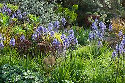 Camassias in a spring border at Glebe Cottage. Hakonechloa macra 'Aureola' in terracotta pot