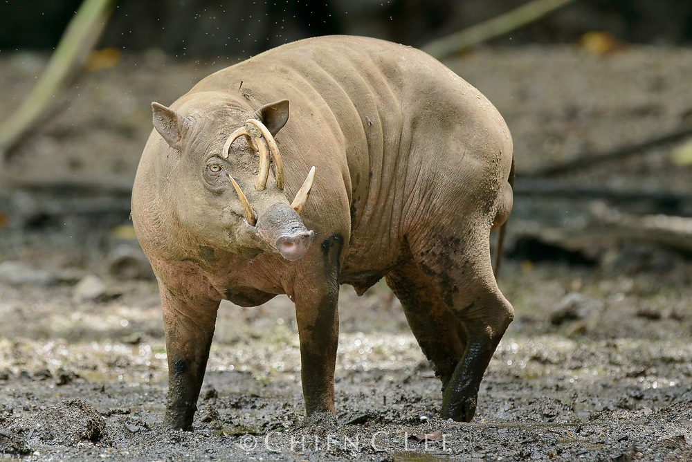 The rare and enigmatic Babirusa (Babyrousa celebensis) occurs only on Sulawesi and a few neighboring islands. Adult males have four conspicuous tusks which are formed from their elongated canine teeth. Gorontalo, Indonesia.