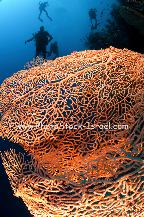 Scuba Divers pass by a coral reef fan coral in the foreground photographed at Ras Mohammed National Park, Red Sea, Sinai, Egypt,