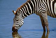 Close-up profile of zebra drinking from lake, Ngorongoro Crater. © 1999 David A. Ponton