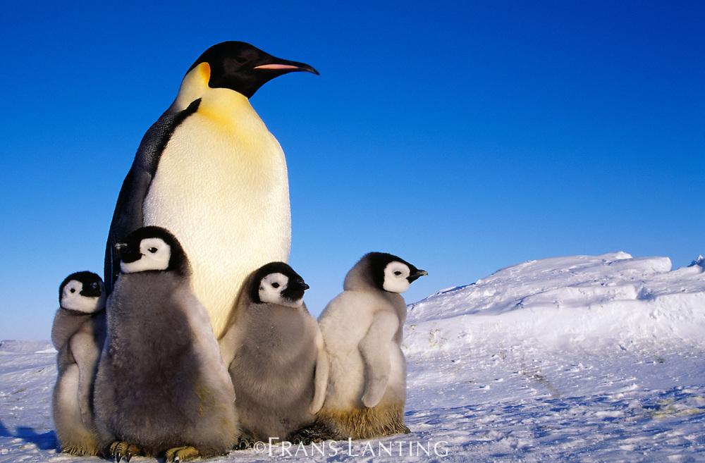 Emperor penguin and chicks, Aptenodytes forsteri, Weddell Sea, Antarctica