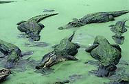 Vereinigte Staaten von Amerika, USA, Florida: amerikanischer Mississippi-Alligator (Alligator mississippiensis). Gruppe von Alligatoren sucht in einem mit Entengruen bedeckten Teich nach Fischen. | United States of America, USA, Florida: American Alligator, Alligator mississippiensis, group in duckweed pond, combing out fish of the water. |