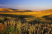 Image of cattle grazing in the Palouse, eastern Washington, Pacific Northwest.