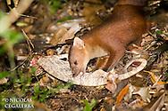 Statut IUCN : Vulnerable
