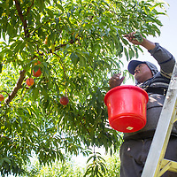 Gabriel Nava perches on a ladder as he picks peaches from a tree early Wednesday morning at Cherry Creek Orchard in Pontotoc. The orchard is open from May through September, and is open 7 days a week during those months.