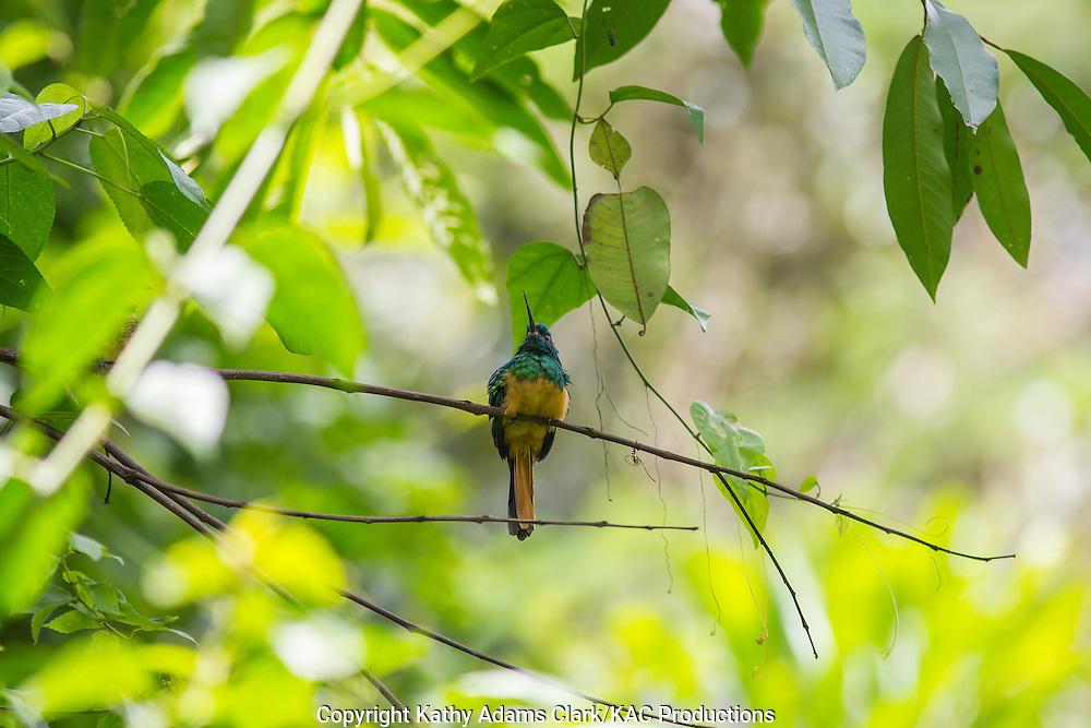 Bluish-fronted jacamar; Galbula cyanescens; Inkaterra Amazonia; Madre de Dios River; Peru; Reserva Ecologica Inkaterra
