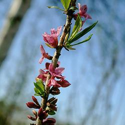 Thymelaeaceae, Peperboompjesfamilie
