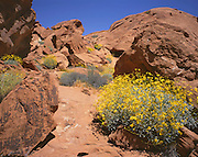 AA02013-01...NEVADA - Brittle bush in bloom among the redrock sandstone along the Mouse's Tank Trail in Valley of Fire State Park.