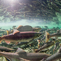 USA, Alaska, Katmai National Park, Underwater view of spawning Pink Salmon (Oncorhynchus gorbuscha)  and Red Salmon (Oncorhynchus nerka) along Kuliak Bay