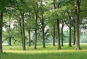 Grove of oak trees at Appleton Farms & Grass Rides, Ipswich, MA