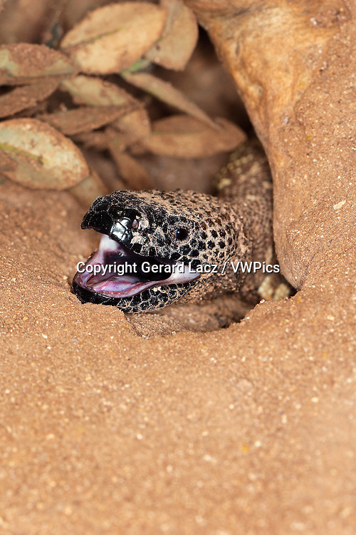BEADED LIZARD heloderma horridum, A VENOMOUS SPECY, ADULT WITH OPEN MOUTH
