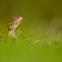 Changeable Lizard (Calotes versicolor) female, Diyasaru Park, Colombo, Sri Lanka