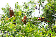 A group of Scarlet Macaws ( Ara macao cyanoptera ) forage and squabble along the banks of the Raspacullo river, Belize.