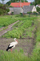 White stork (Ciconia ciconia) stood in village allotment. Rusne, Lithuania. Mission: Lithuania, June 2009