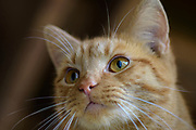 Domestic Shorthair tabby cat. Columbus, Ohio, USA. November 2016