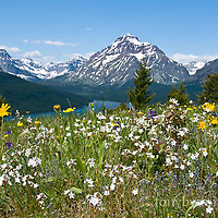 blackfeet reservation, wildlflowers, glacier park