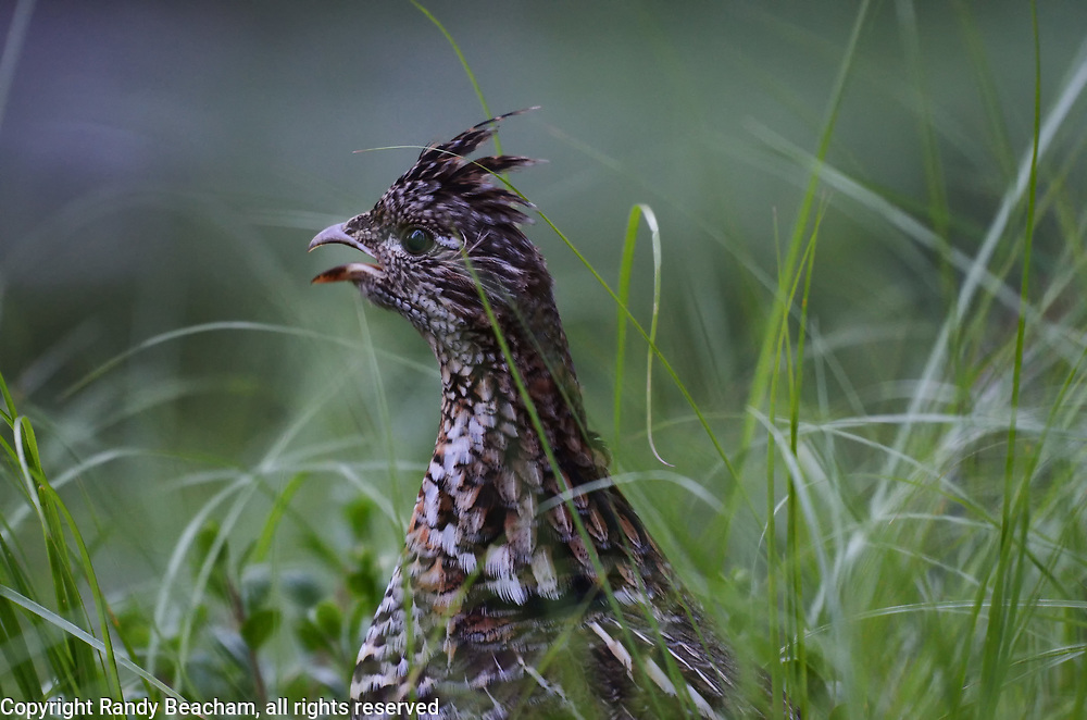 An angry ruffed grouse protects it's newly born chicks hiding the grass and Kinnikinnick. Yaak Valley in the Purcell Mountains, northwest Montana.