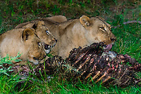 Three female lions eating the carcass of a wildebeest, Kwara Camp, Okavango Delta, Botswana.