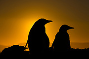 Gentoo penguins during sunset at The Neck, Saunders Island, the Falklands.