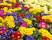 Display of bright polyanthus plants  Ladybird Nurseries garden centre, Gromford, Suffolk, England, UK