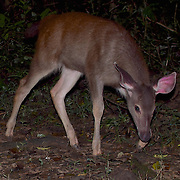 Rusa unicolor, fawn Sambar Deer in Kaeng Krachan National Park, Thailand.