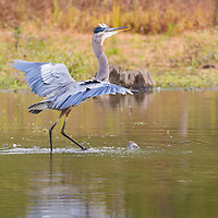 "Great blue heron exhibiting animated ""dancing"" behavior while fishing at North Chagrin Reservation."
