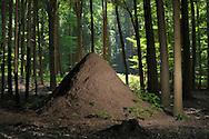 DEU, Deutschland: Ameisennest der Roten Waldameise (Formica polyctena) im Wald, Hoehe der Kuppel ca. 1,80 m, Guenterfuerst, Erbach, Hessen | DEU, Germany: Nest of European wood ants (Formica polyctena), high of the hill ca 1,80 meter, Gunterfurst, Erbach, Hesse |