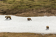 Grizzly (ursus arctos) sow and cubs walk across a remnant snow field in Sable Pass in Denali National Park in Interior Alaska. Summer. Afternoon.