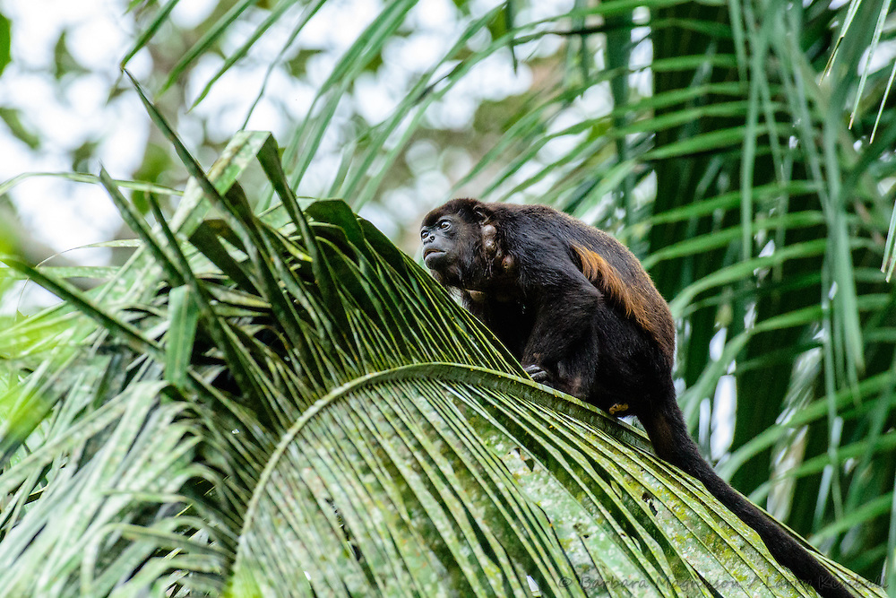 Mantled Howler Monkey [Allouata palliata] adult with botfly lessions (warble), browsing canopy; Soberania National Park, Panama