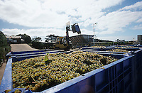 Crushing grapes in winery